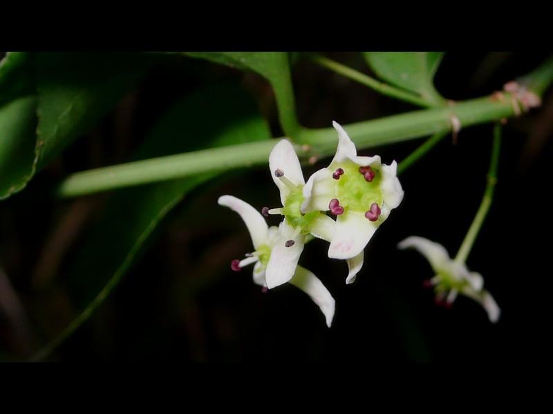 マユミ 花
