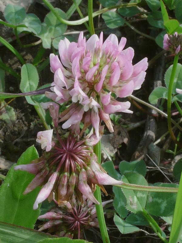 モモイロシロツメクサ 花序