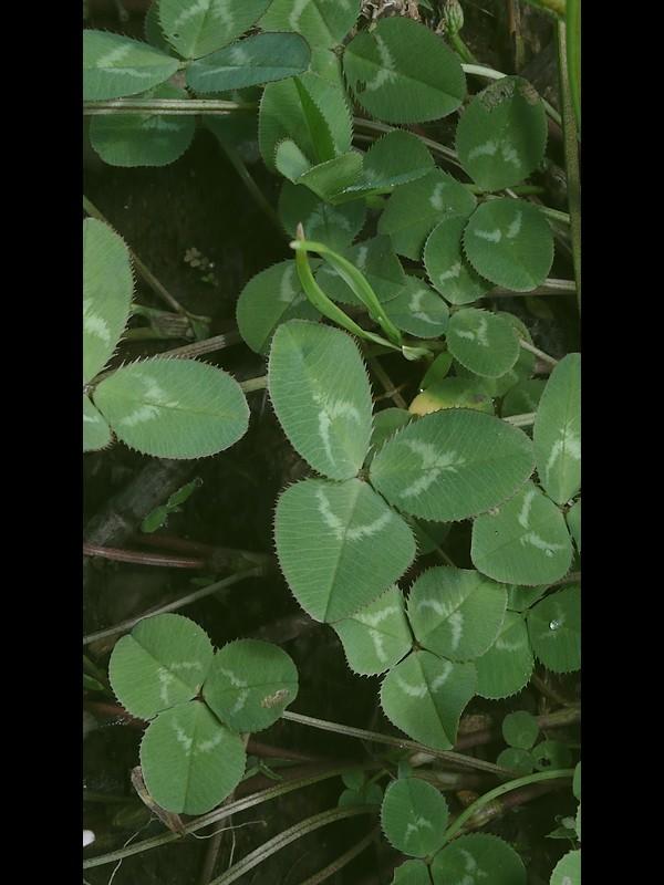 モモイロシロツメクサ 葉