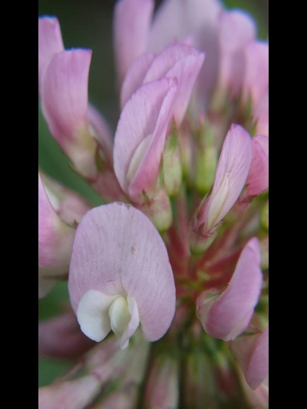 モモイロシロツメクサ 花の拡大