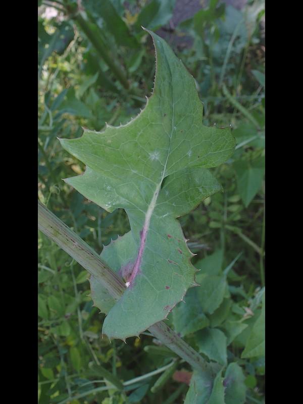 ウスジロノゲシ 中部の葉