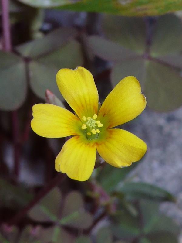 ウスアカカタバミ 花