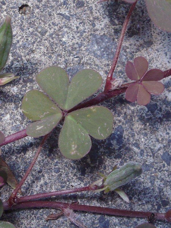 ウスアカカタバミ 葉・茎・托葉