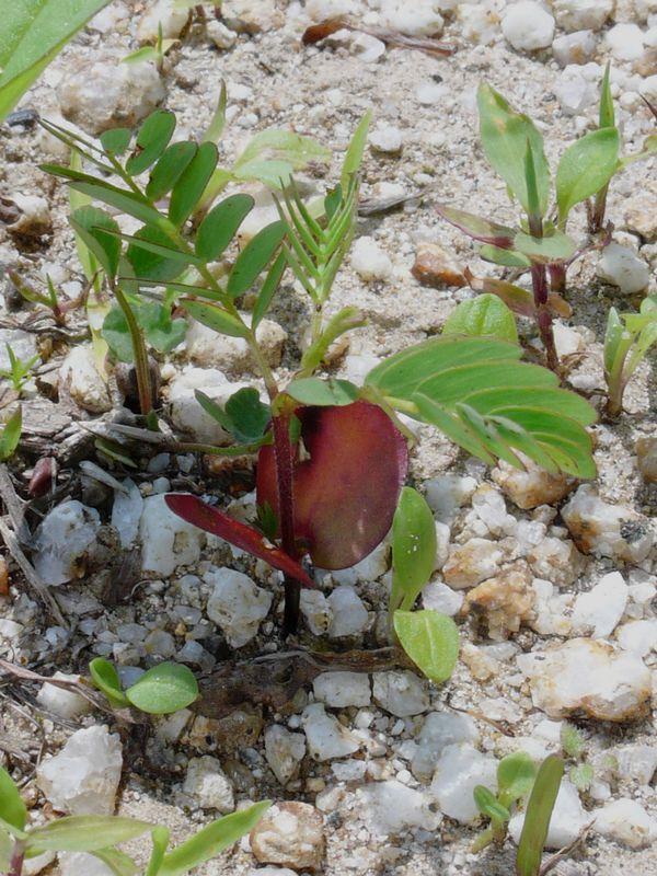 カワラケツメイ 育ち始めた芽