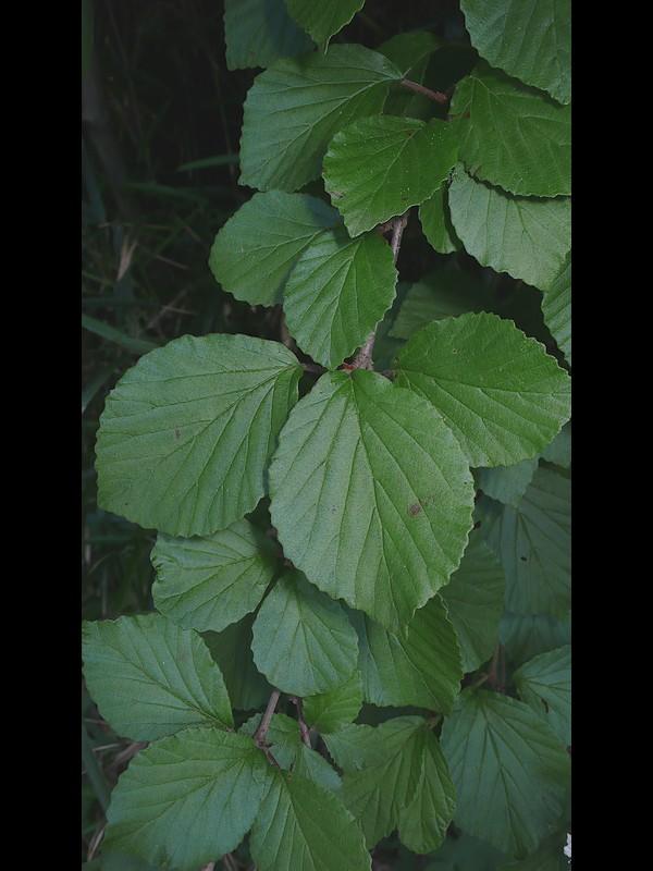 ガマズミ 葉