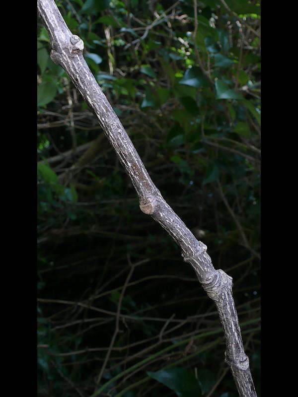 ゴンズイ 枝