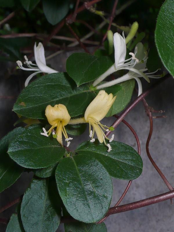 スイカズラ 花と葉
