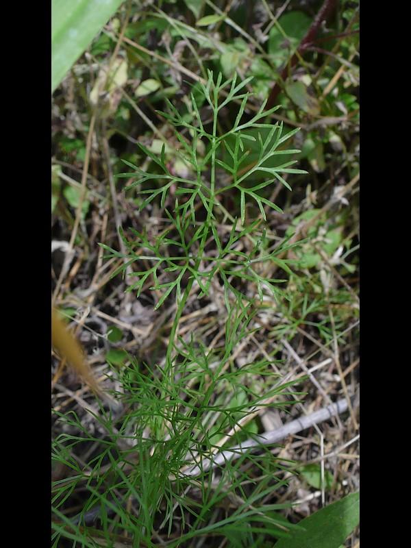 マツバゼリ 葉