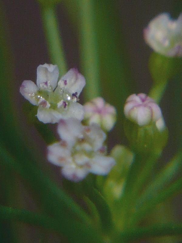 マツバゼリ 花