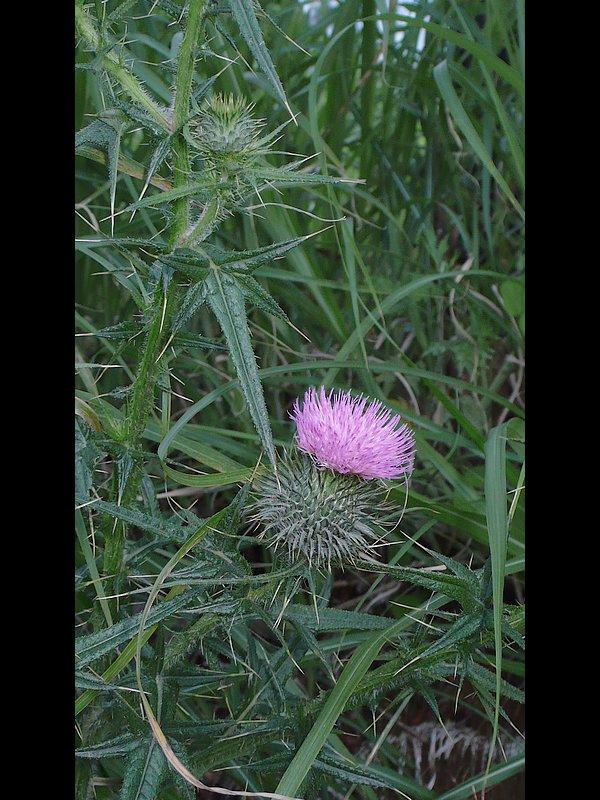 アメリカオニアザミ 花序周辺