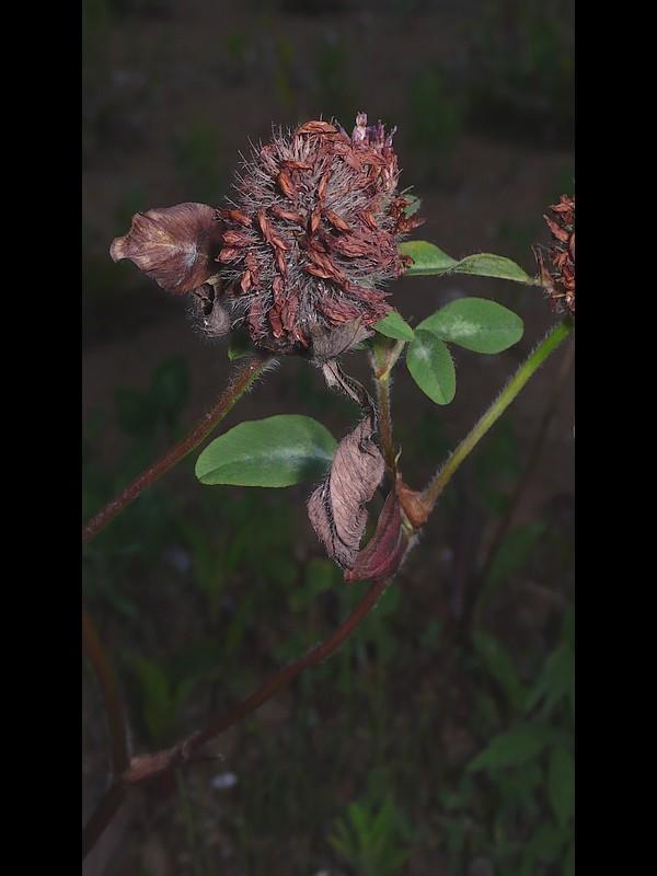 ムラサキツメクサ 果実期の花序
