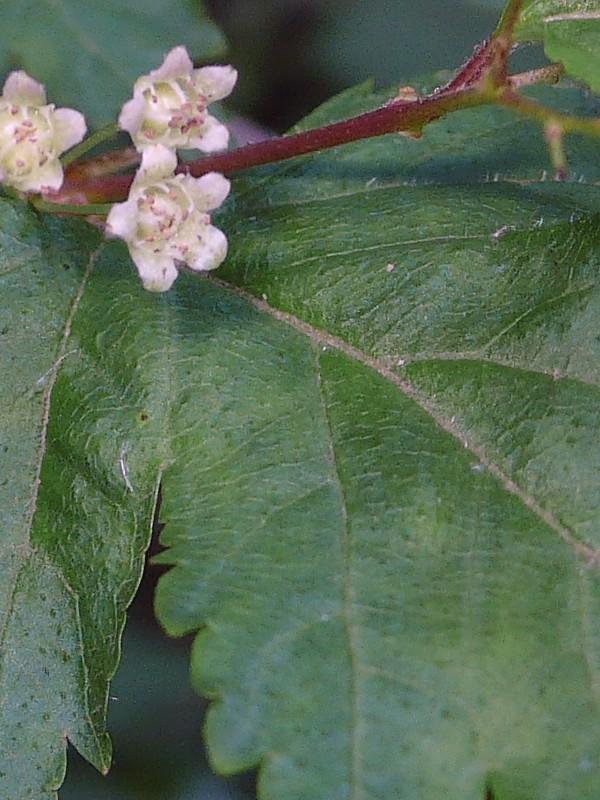コゴメウツギ 葉の拡大