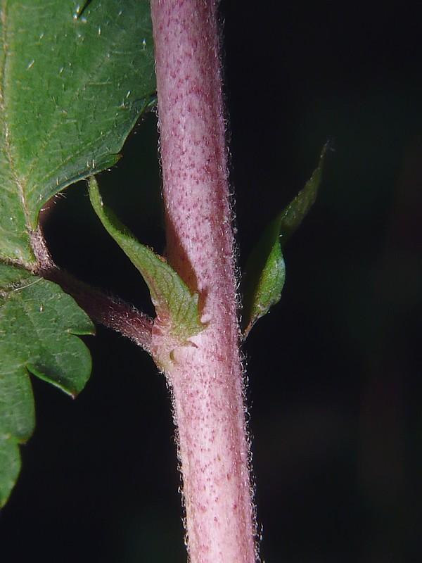 コゴメウツギ 茎