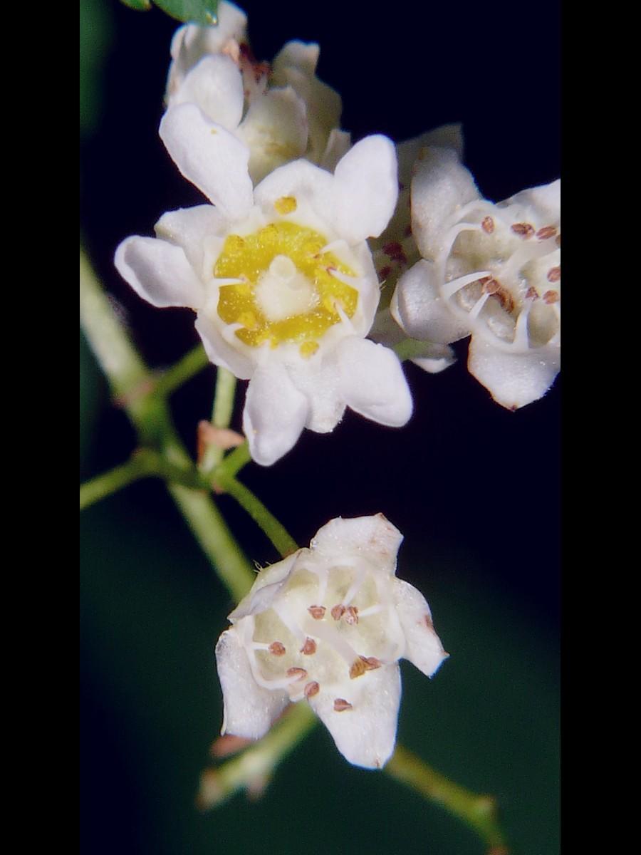 コゴメウツギ 花の拡大
