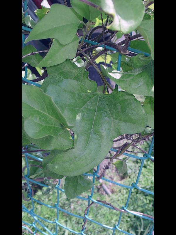 アオツヅラフジ 葉
