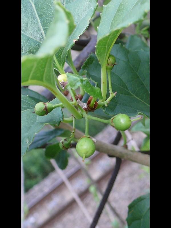 ツルウメモドキ 若い果実の拡大