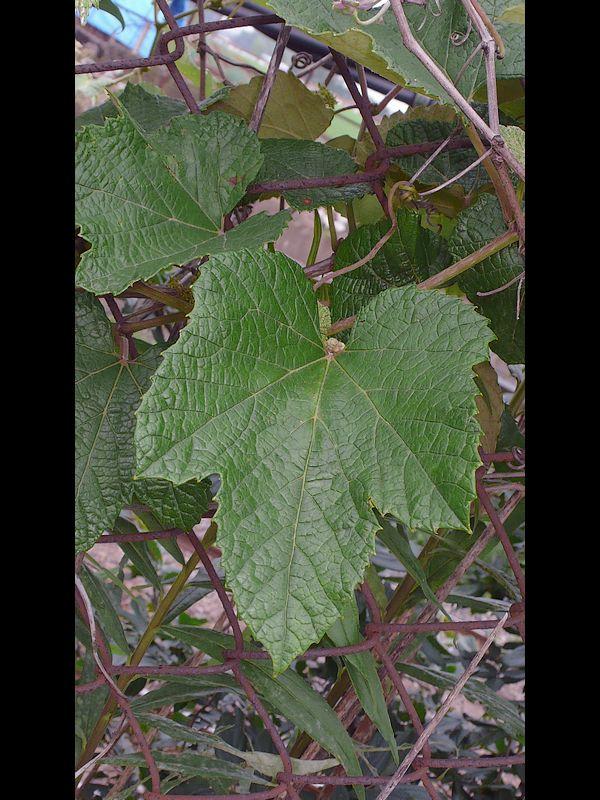 エビヅル 葉