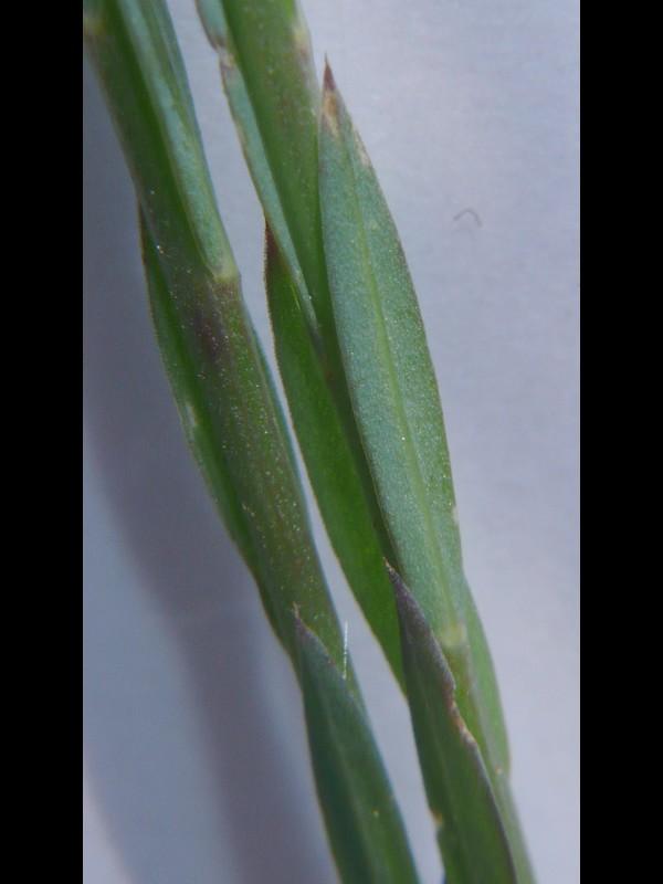 キバナノマツバニンジン 葉