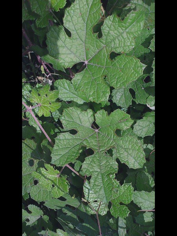 キクバエビヅル 葉