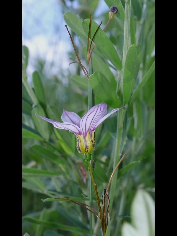 アキマルニワゼキショウ 花の横