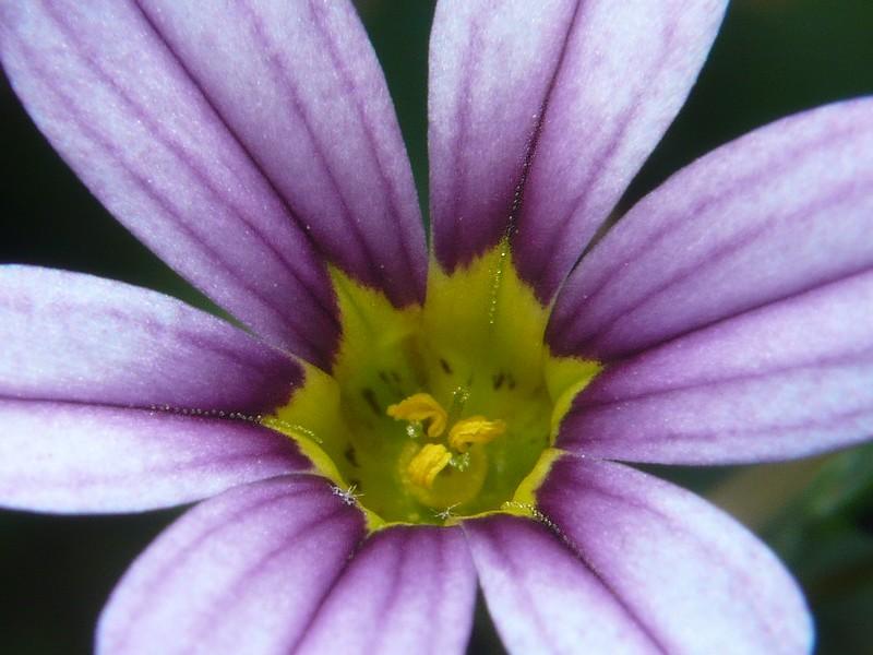 アキマルニワゼキショウ 花の拡大