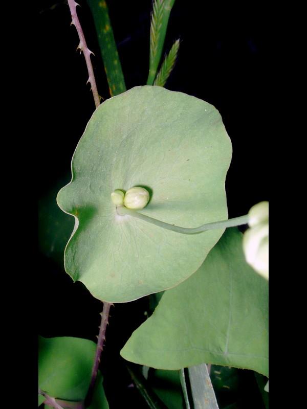 イシミカワ 托葉上の花