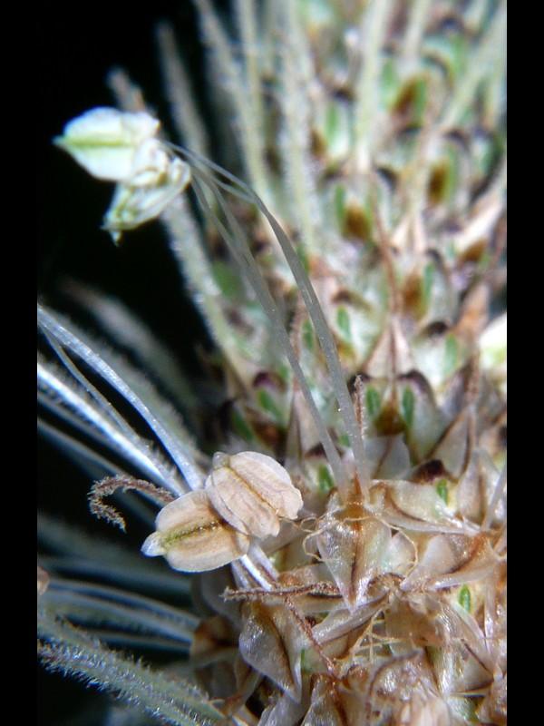 ヘラオオバコ 花の拡大