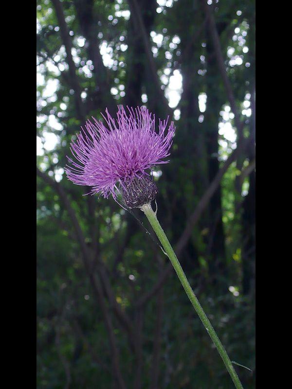 ノアザミ 頭花と総苞