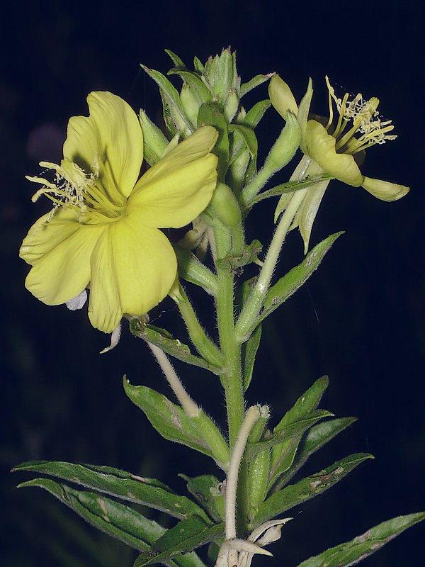 メマツヨイグサ 花序