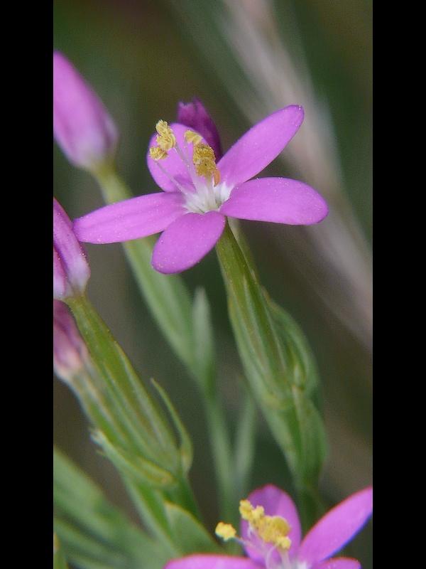 ハナハマセンブリ 花