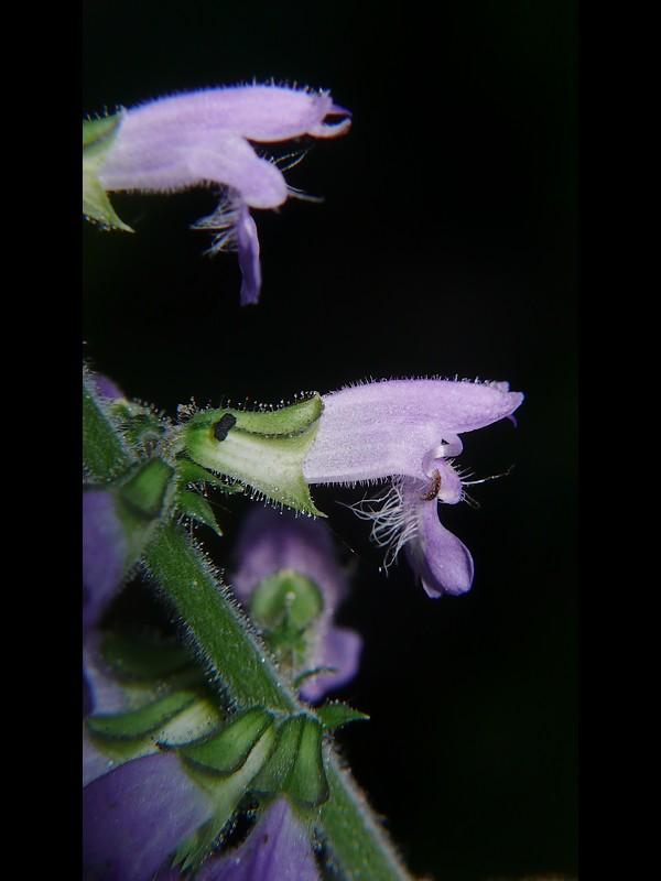 ケブカアキノタムラソウ 花を横から