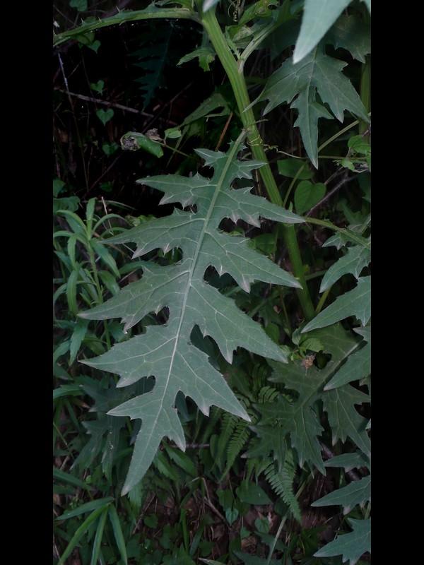 トネアザミ 普通の葉