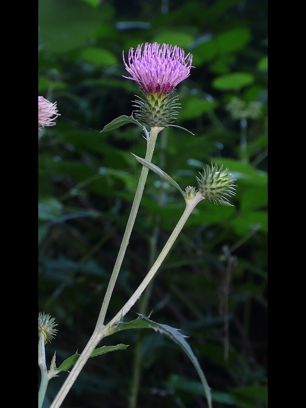 トネアザミ 花