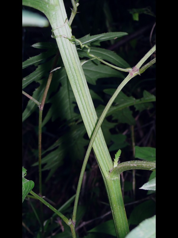 トネアザミ 茎