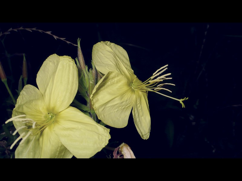 オオマツヨイグサ 花