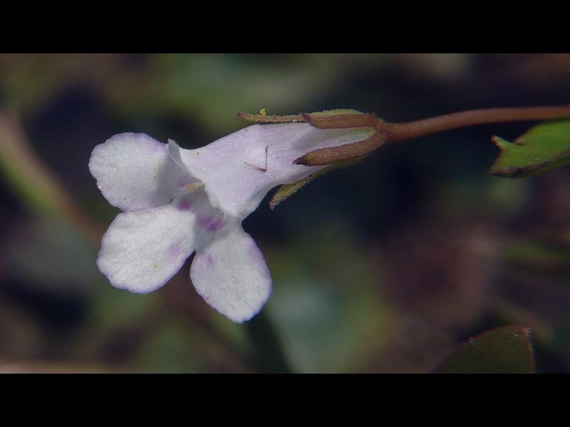 アメリカアゼナ 花と萼