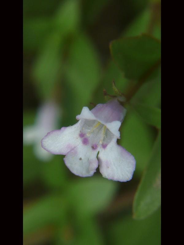 アメリカアゼナ 花