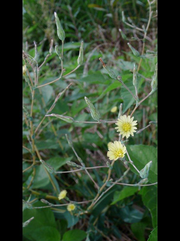マルバトゲチシャ 花序
