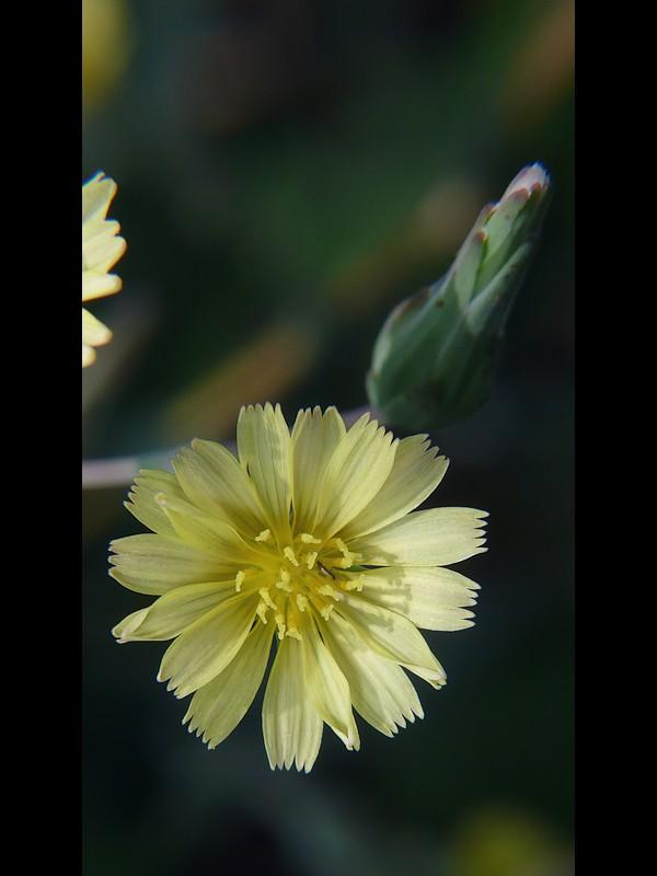 マルバトゲチシャ 花