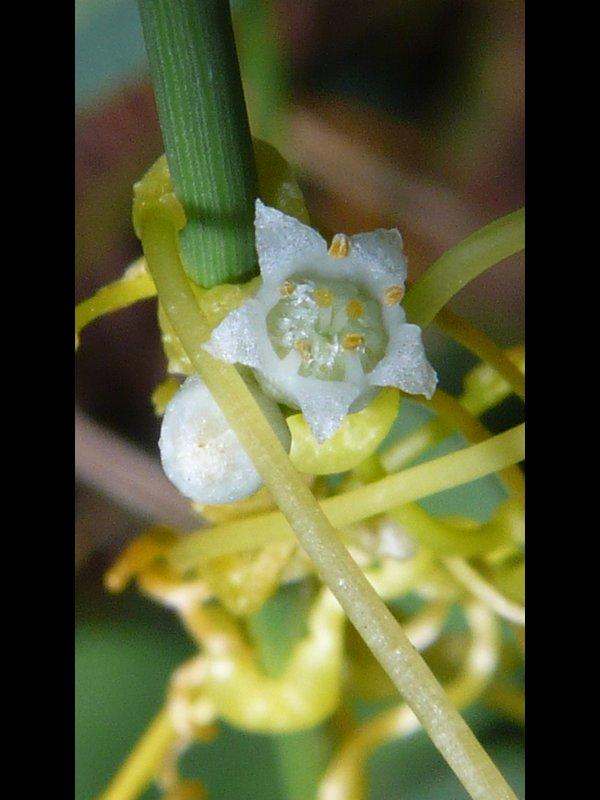 アメリカネナシカズラ 花