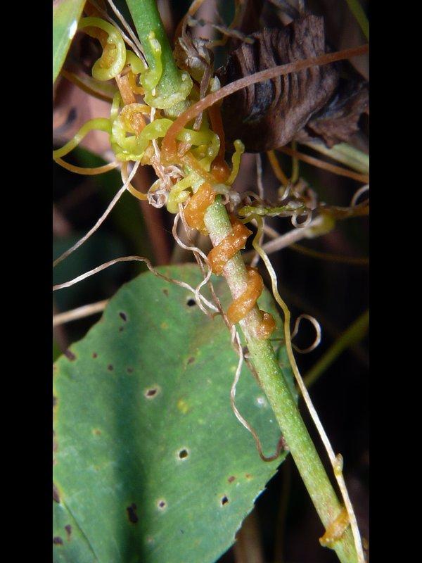 アメリカネナシカズラ 巻いた茎