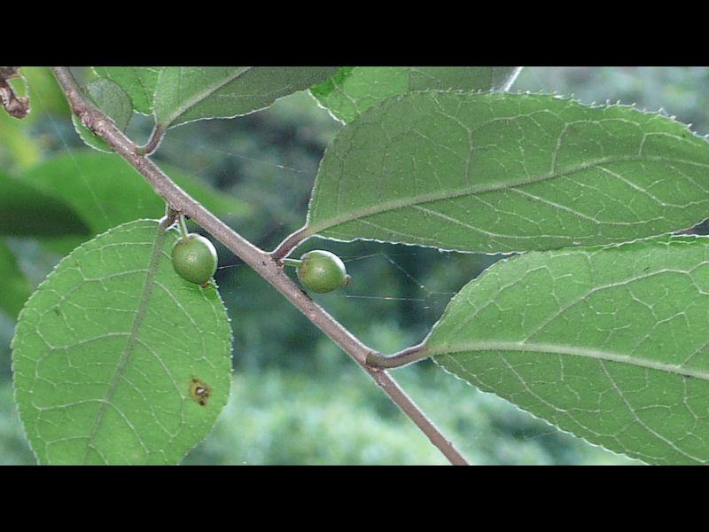 ウメモドキ 若い果実