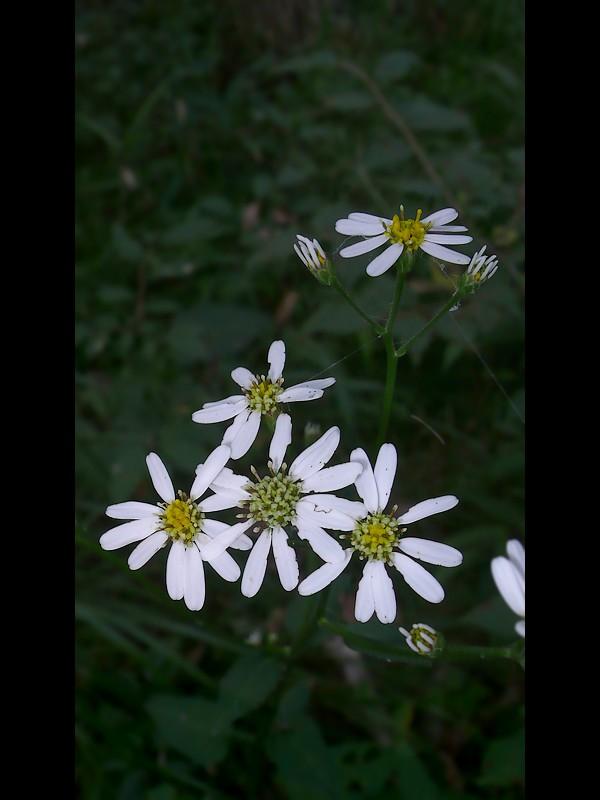 シラヤマギク 花