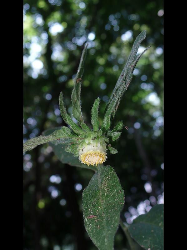 コヤブタバコ 頭花