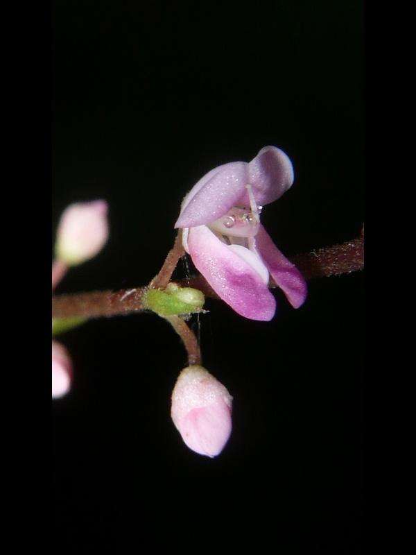 ヌスビトハギ 花