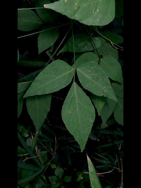 ヌスビトハギ 葉