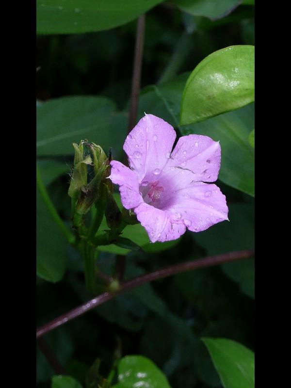 ベニバナマメアサガオ 花
