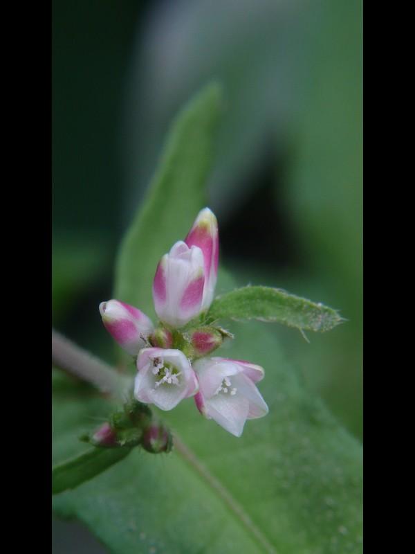 サデクサ 花