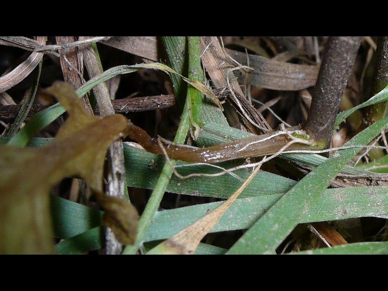 ヒメイヌガラシ 葉腋上腋芽・発根