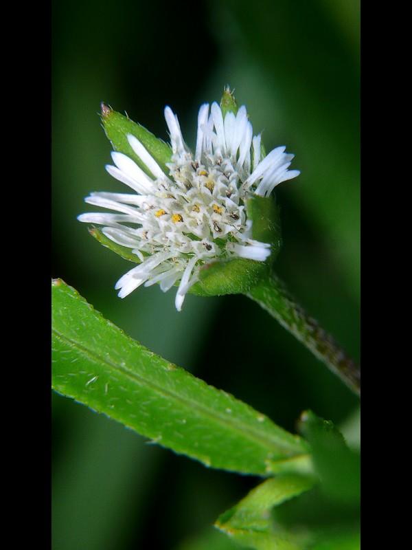 アメリカタカサブロウ 花